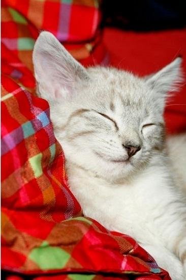 Kot jawajski o zielonych oczach.