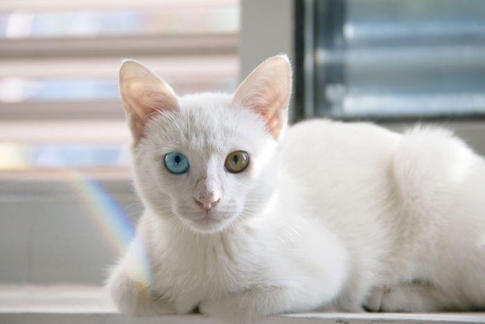 Biały kot khao manee o różnobarwnych oczach leży na parapecie.