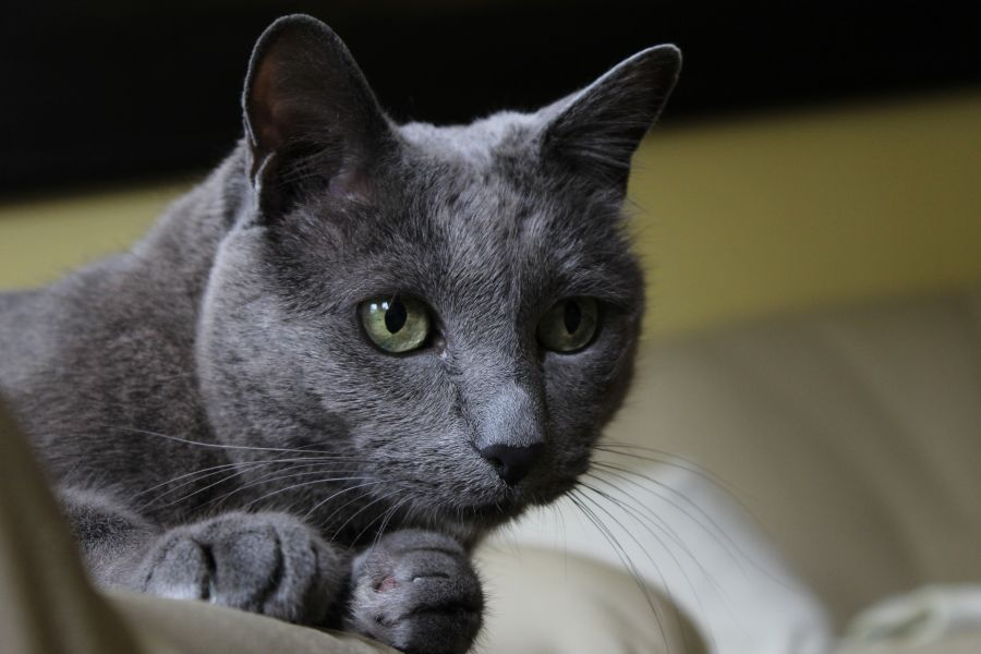 Kot korat ma duże, zielone oczy i proste, wysoko osadzone uszy.