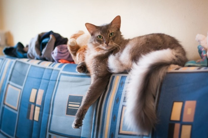 Kot somalijski srebrzysty leży na kanapie.