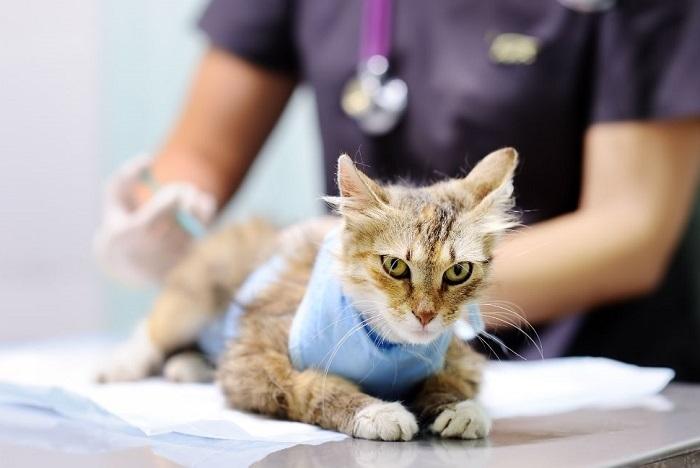 Zdenerwowany kot w kubraczku dostaje zastrzyk u weterynarza.