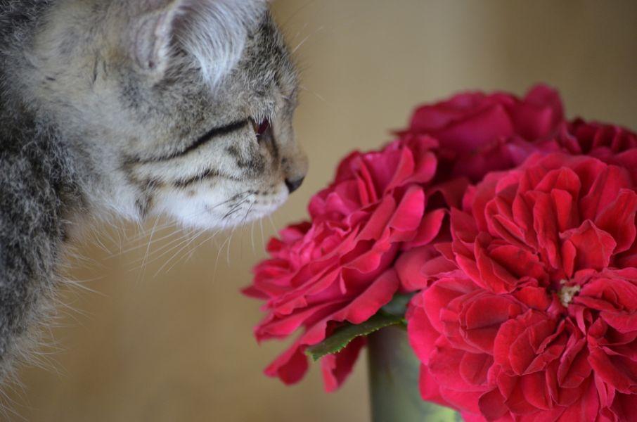 Kot wącha czerwone róże w wazonie.