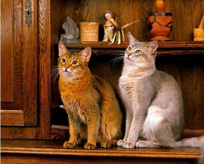 Dwa koty somalijskie o różnych umaszczeniach - rudym i beżowym.