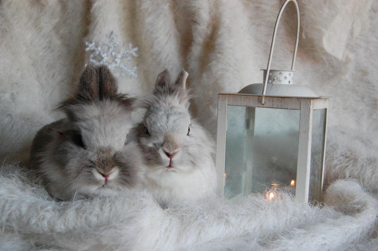 Króliki sprawdzą się w mieszkaniu jako małe zwierzęta domowe.