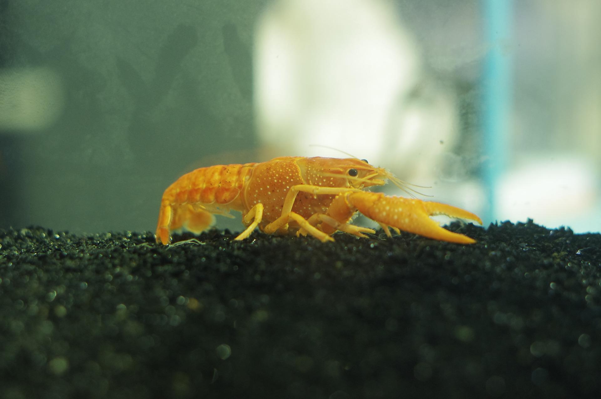 Krewetki w akwarium dobrze współżyją z małymi rybkami, np. gupikami.