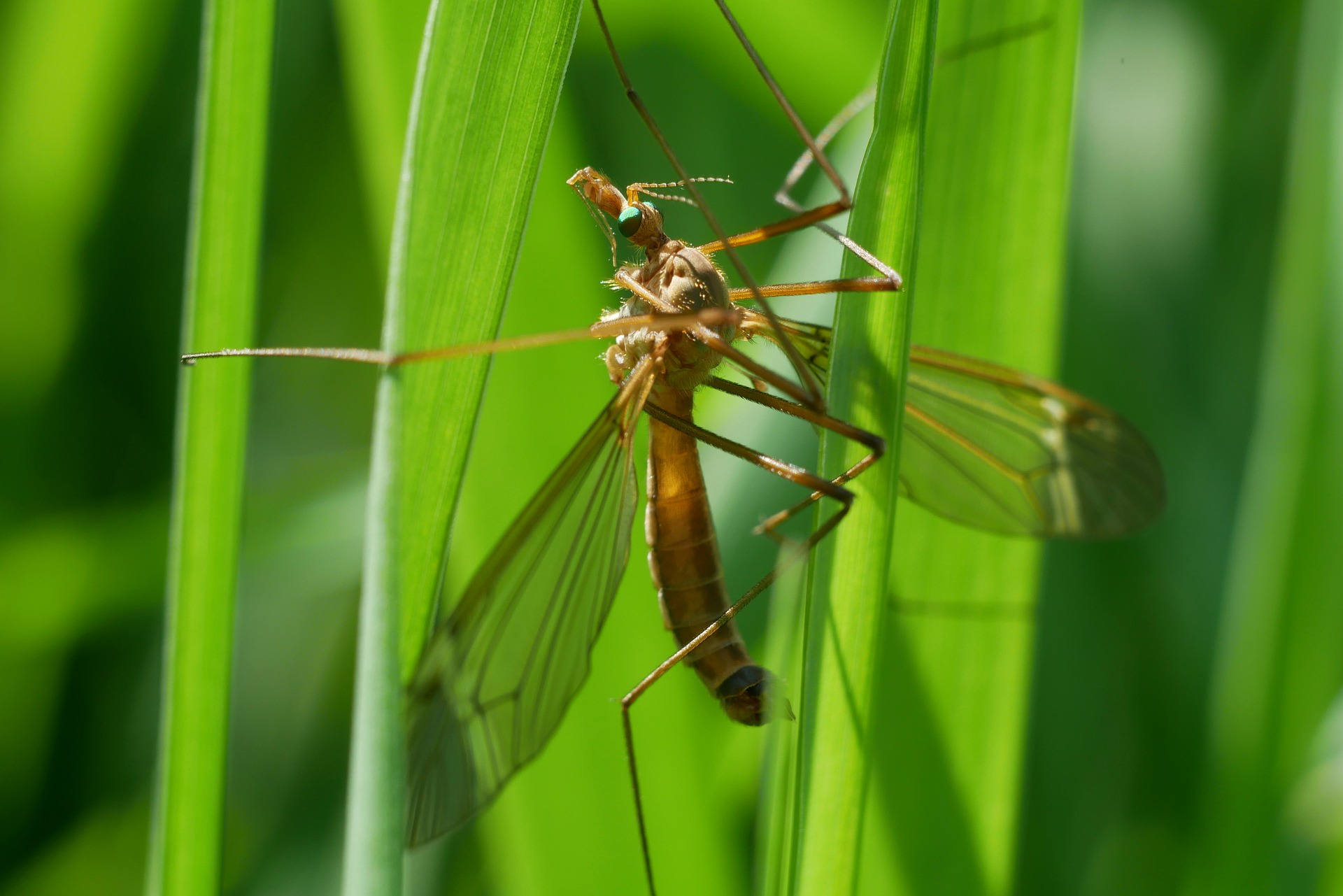 komar jest w stanie trafić w nieowłosione okolice oczu, pyska, uszu czy odbytu psa.