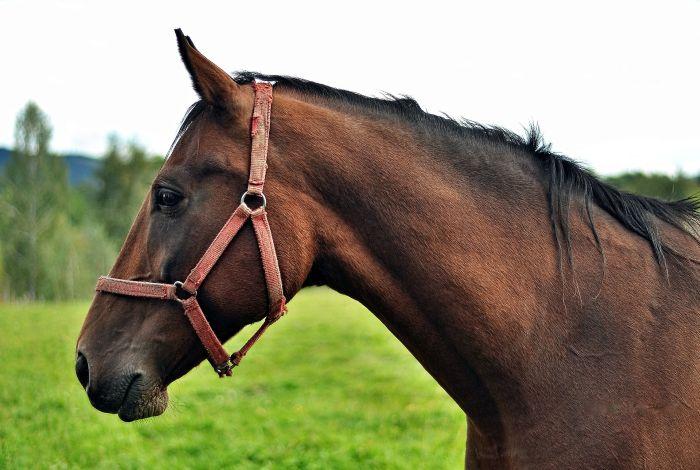 Koń małopolski gniady w kantarku.