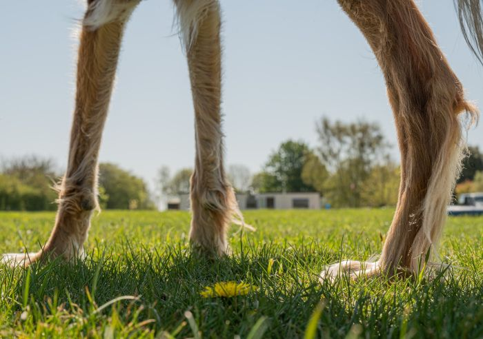 Modzele u psa najczęściej pojawiają się w okolicach stawów skokowych, rzadziej łokciowych.
