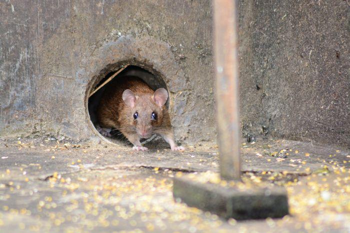 Mysz wychodzi z dziury w betonie.