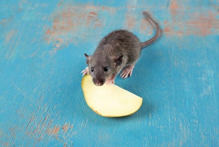 Mysz je jabłko.