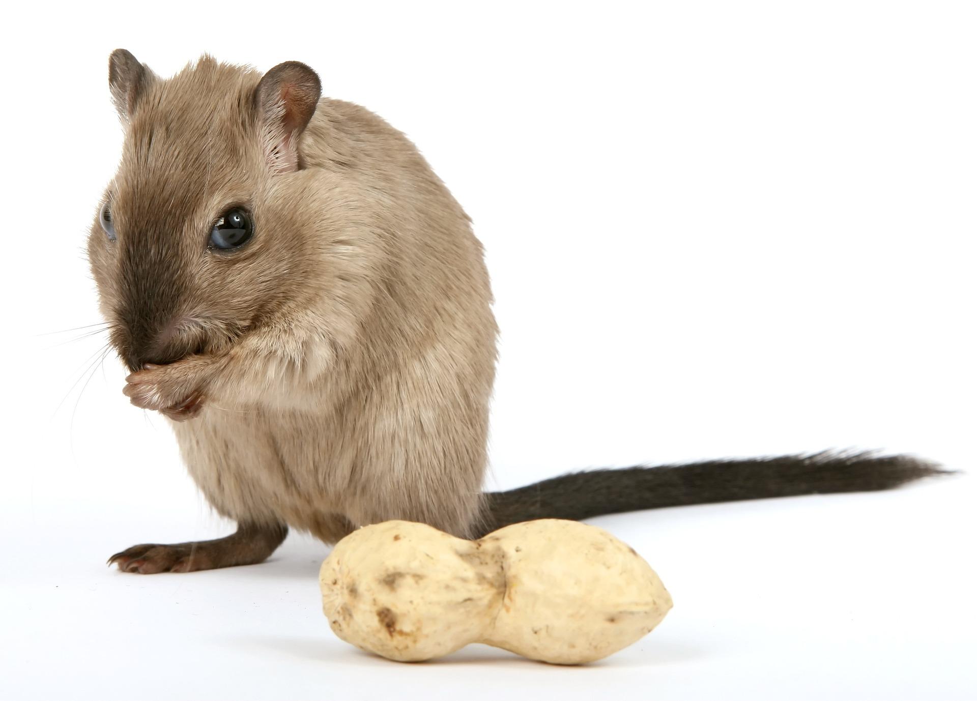 Myszoskoczek może jeść orzechy, jednak nie w dużych ilościach, gdyż są ciężkostrawne i kaloryczne.