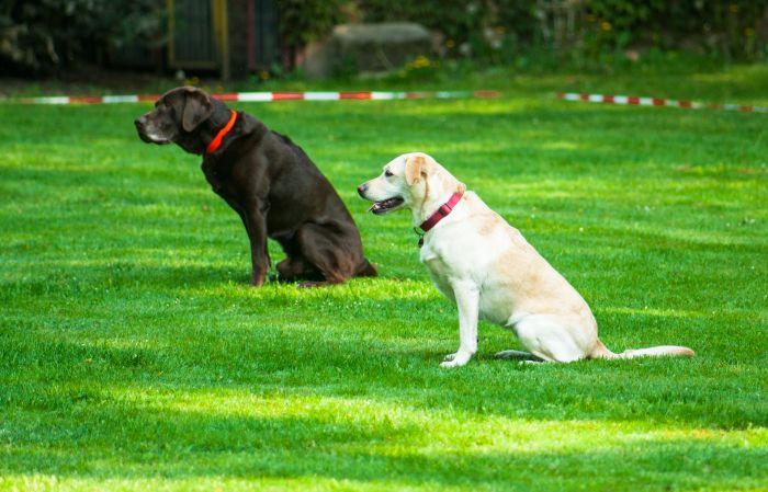 Dwa labradory podczas nauki komendy zostań.