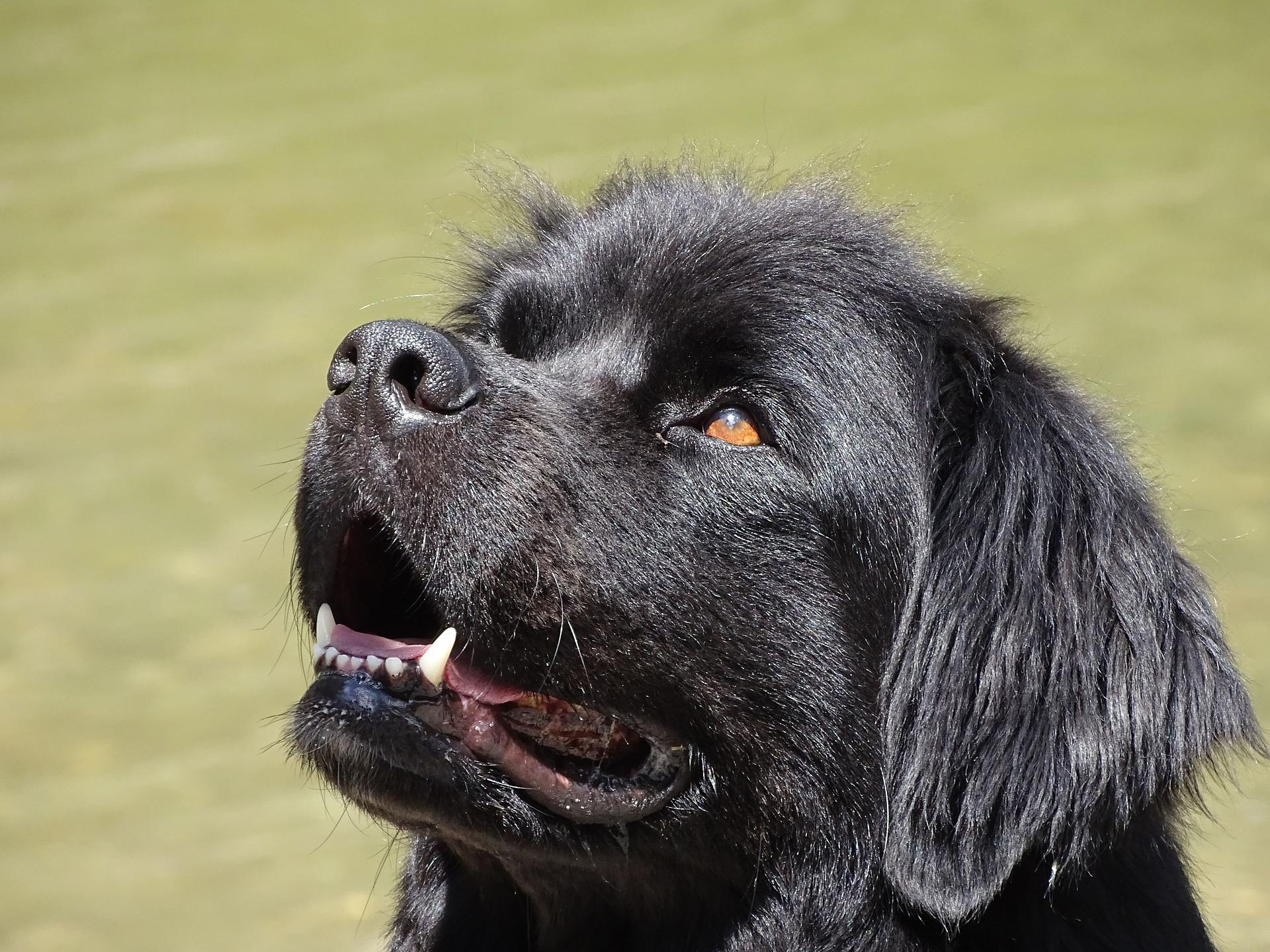 Psy nowofundlandy należą do psów ras dużych, dorosłe osobniki mogą osiągnąć nawet 70 - 80 kg masy ciała.