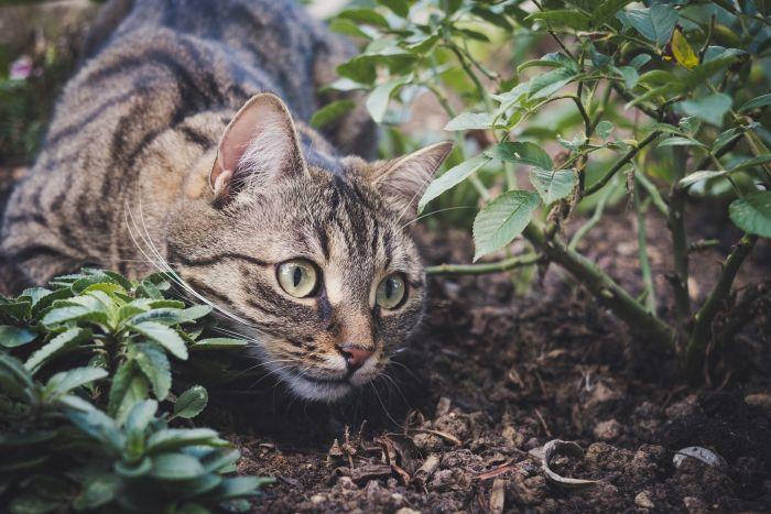 Kot czający się przy ziemi i krzewach.