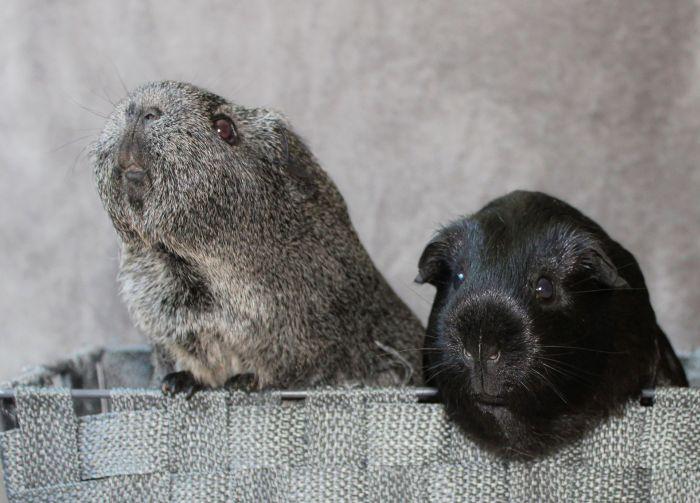 Dwie świnki morskie w koszyczku.