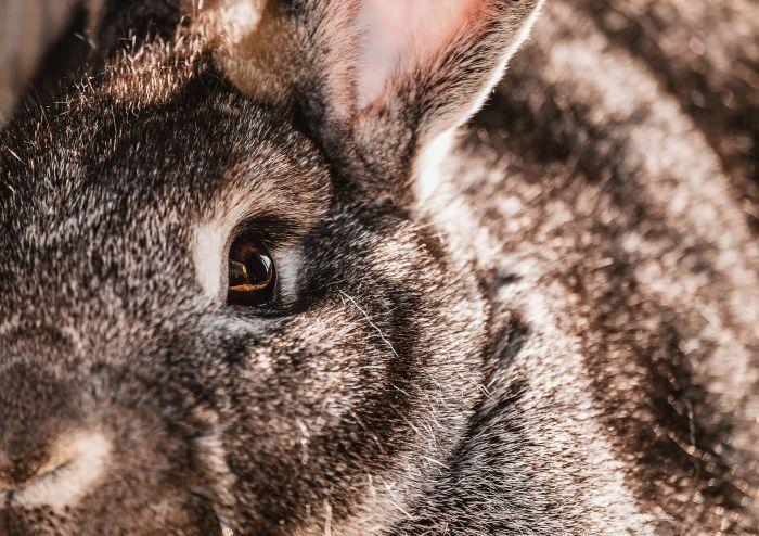 Oko królika z bliska
