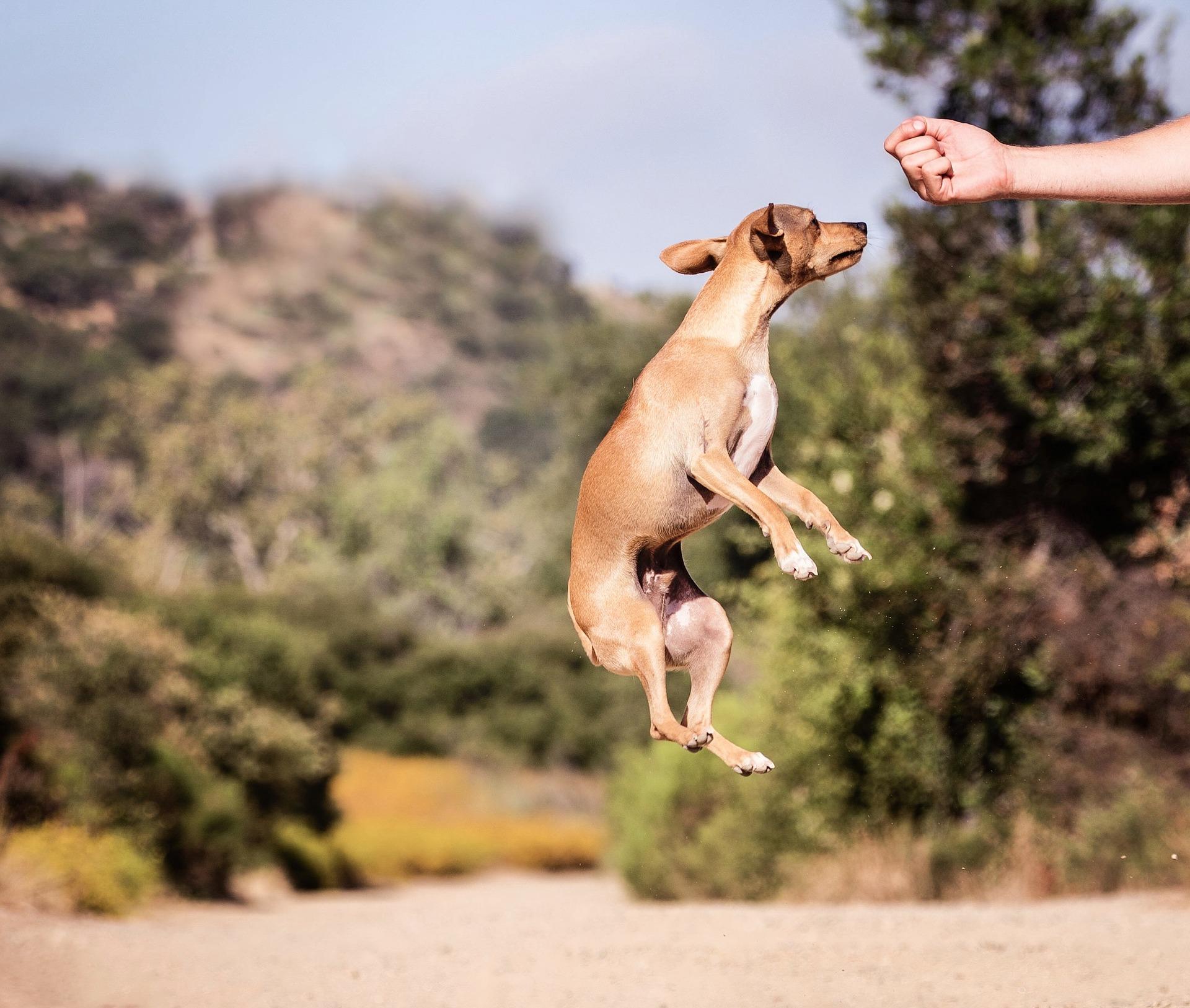 Nauka psa komend zazwyczaj rozpoczyna w 2 miesiącu jego życia i obejmuje: siad, na miejsce, zostań i przywołanie.