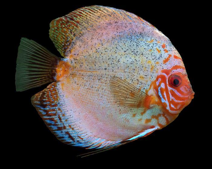 Ryba paletka o biało-różowym ubarwieniu