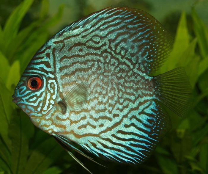 Zielona paletka ryba.
