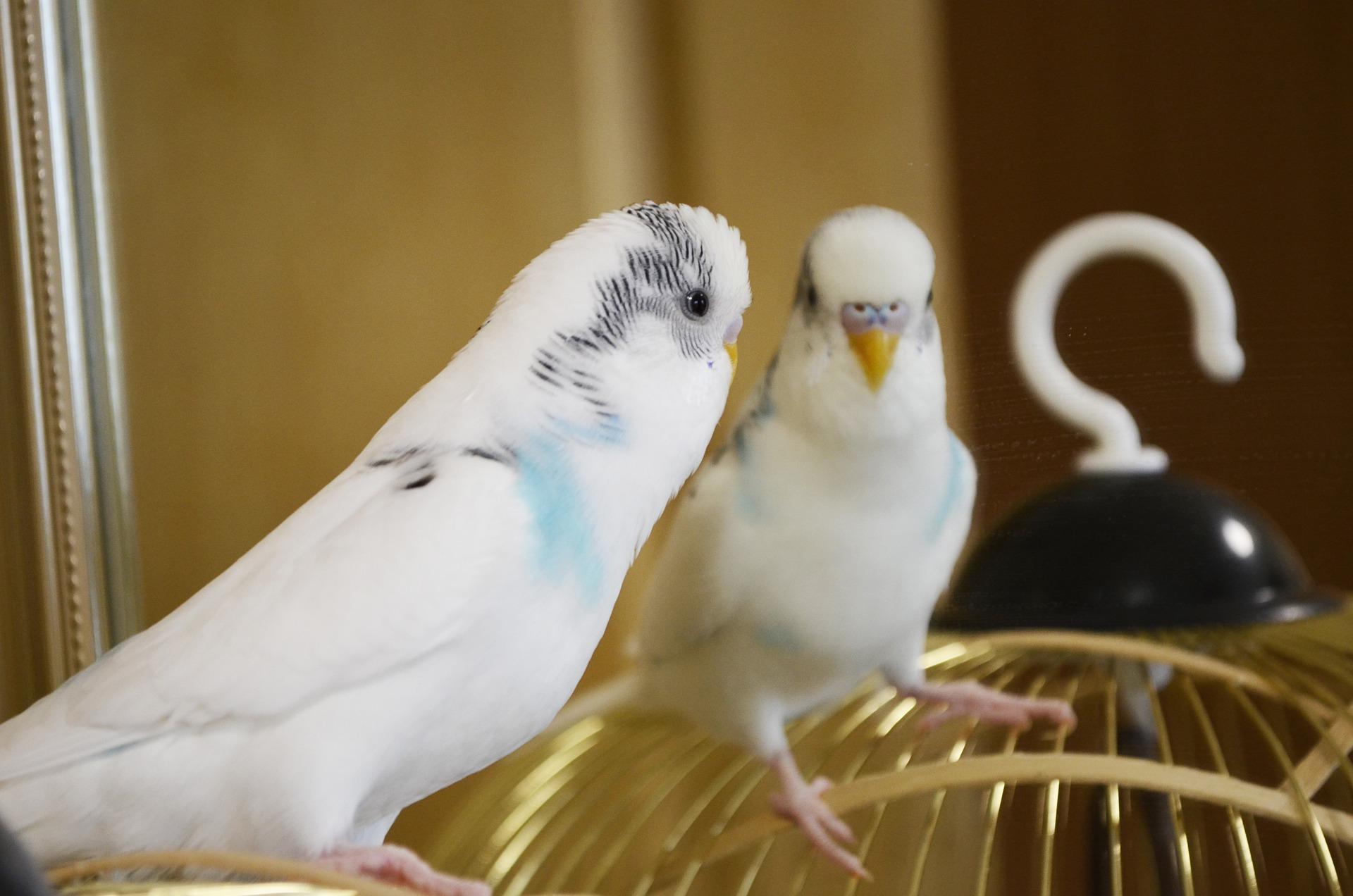Nazwa papugi falistej wzięła się od charakterystycznego wzoru za uszkami papug. Wzory te przypominają fale i rozchodzą się delikatnie wzdłuż.
