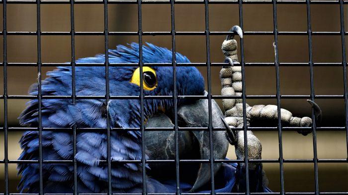 Papuga ara w klatce