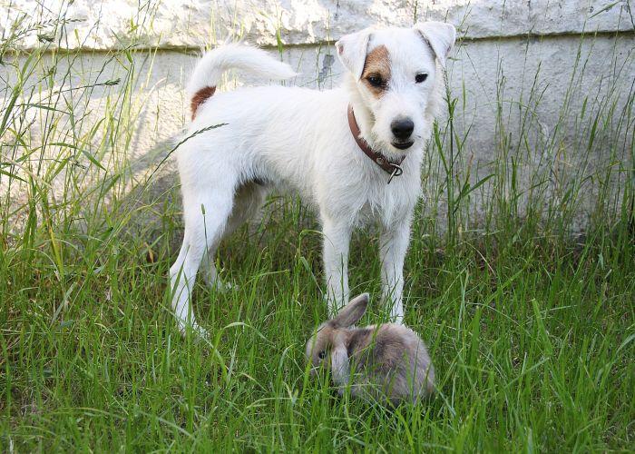 Parson Russell Terrier z królikiem na trawie.
