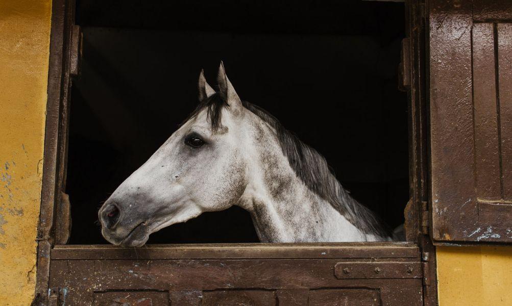 Siwy koń w stajni.