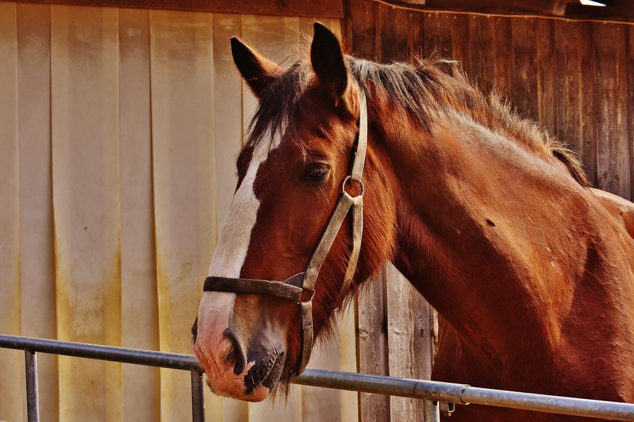 Gniady koń w stajni.