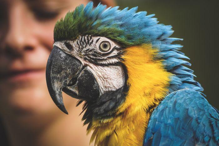Papuga ara przy człowieku,