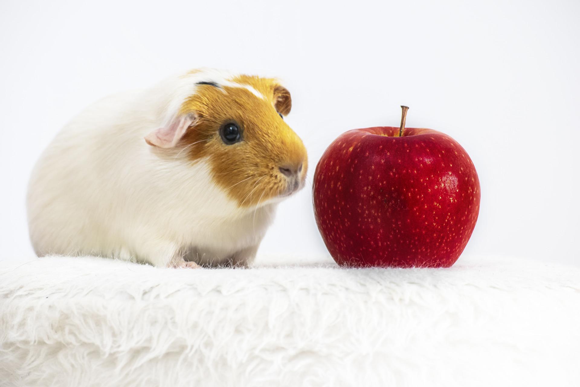 Dieta świnek morskich powinna być bogata w produkty bogate w witaminę C, ponieważ organizm zwierzęcia nie jest w stanie sam jej wyprodukować.