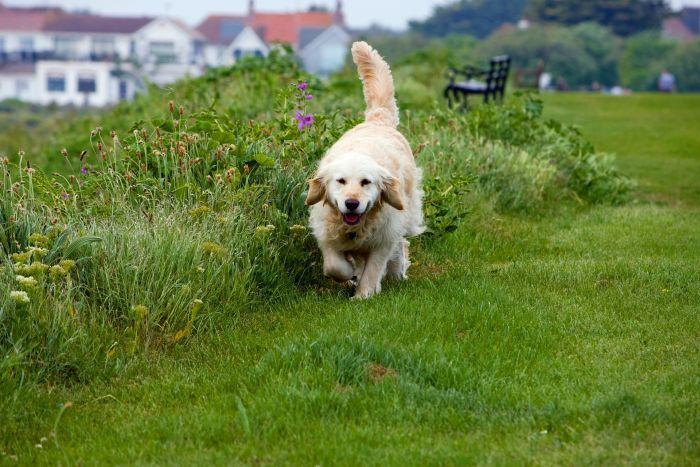 Golden retriever biegnie przez polankę.