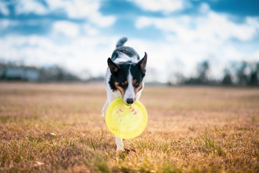 Pies aportuje frisbee.