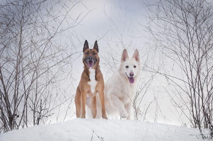 Biały owczarek szwajcarski i owczarek belgijski na ośnieżonej górce.