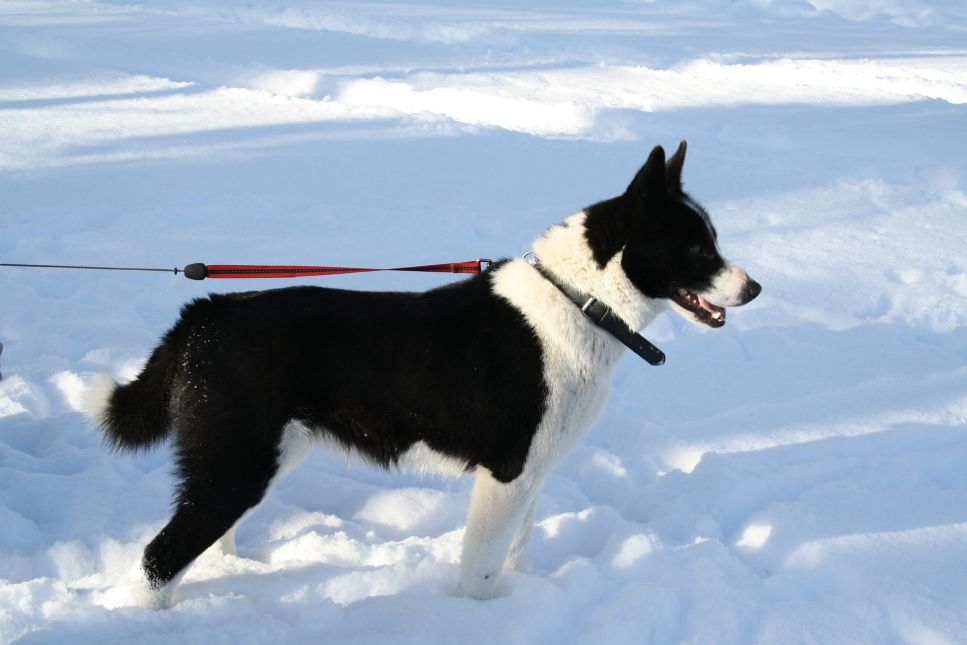 Karelski pies na niedźwiedzie ma mocną budowę ciała i umaszczenie czarne z białymi znaczeniami.