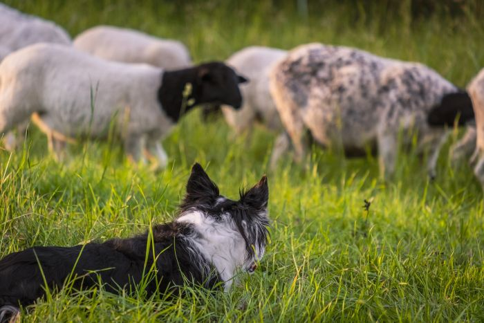 Pies pasterski podczas obserwowania stada owiec.