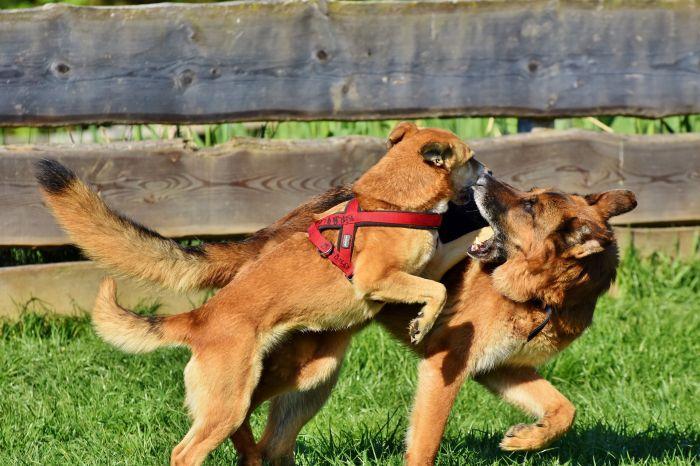 Pies skacze na drugiego psa.