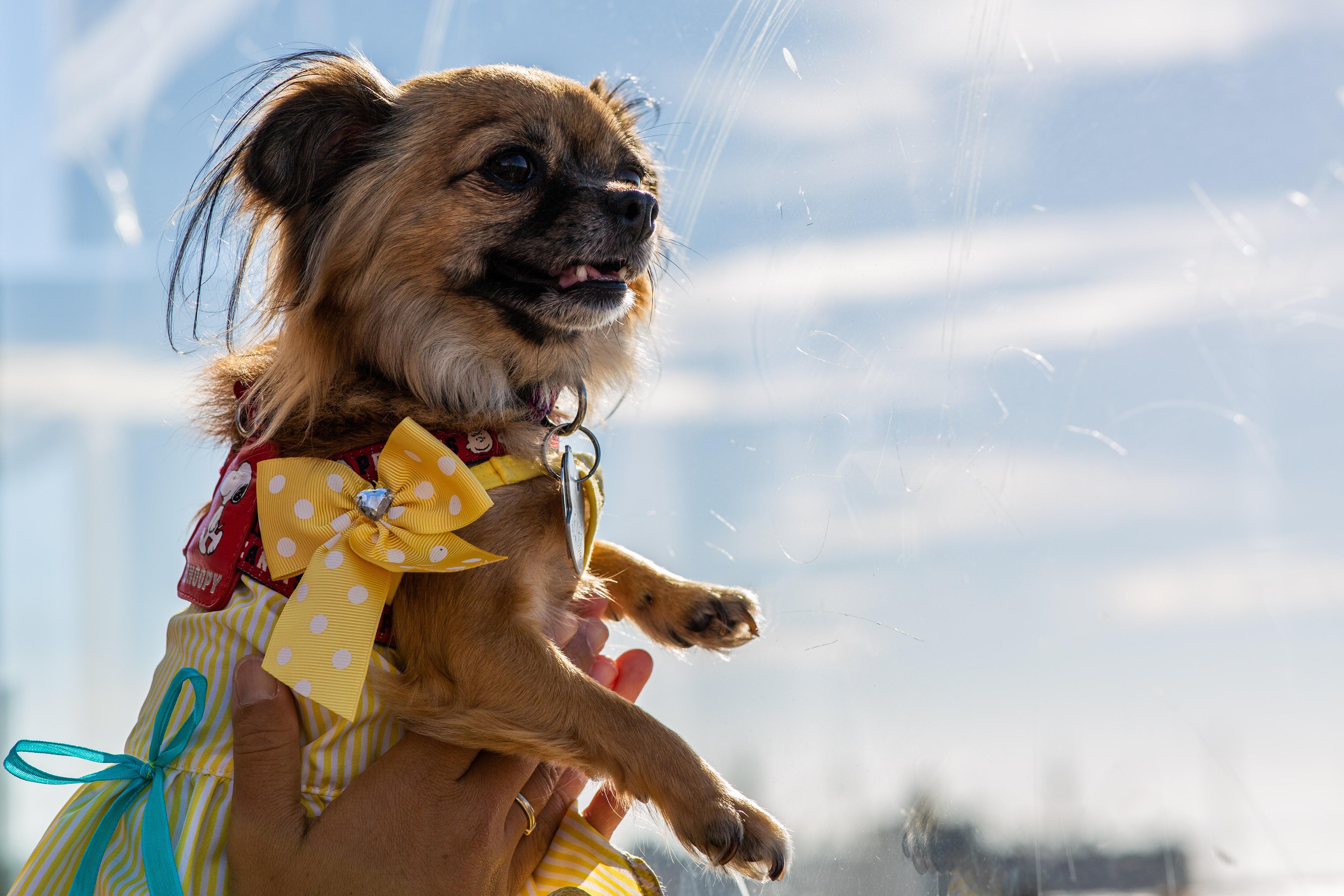 Pies z żółtą wstążką.