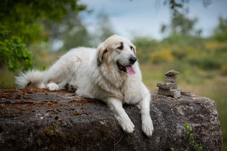 Pirenejski pies górki jest dużym psem o maści białej.
