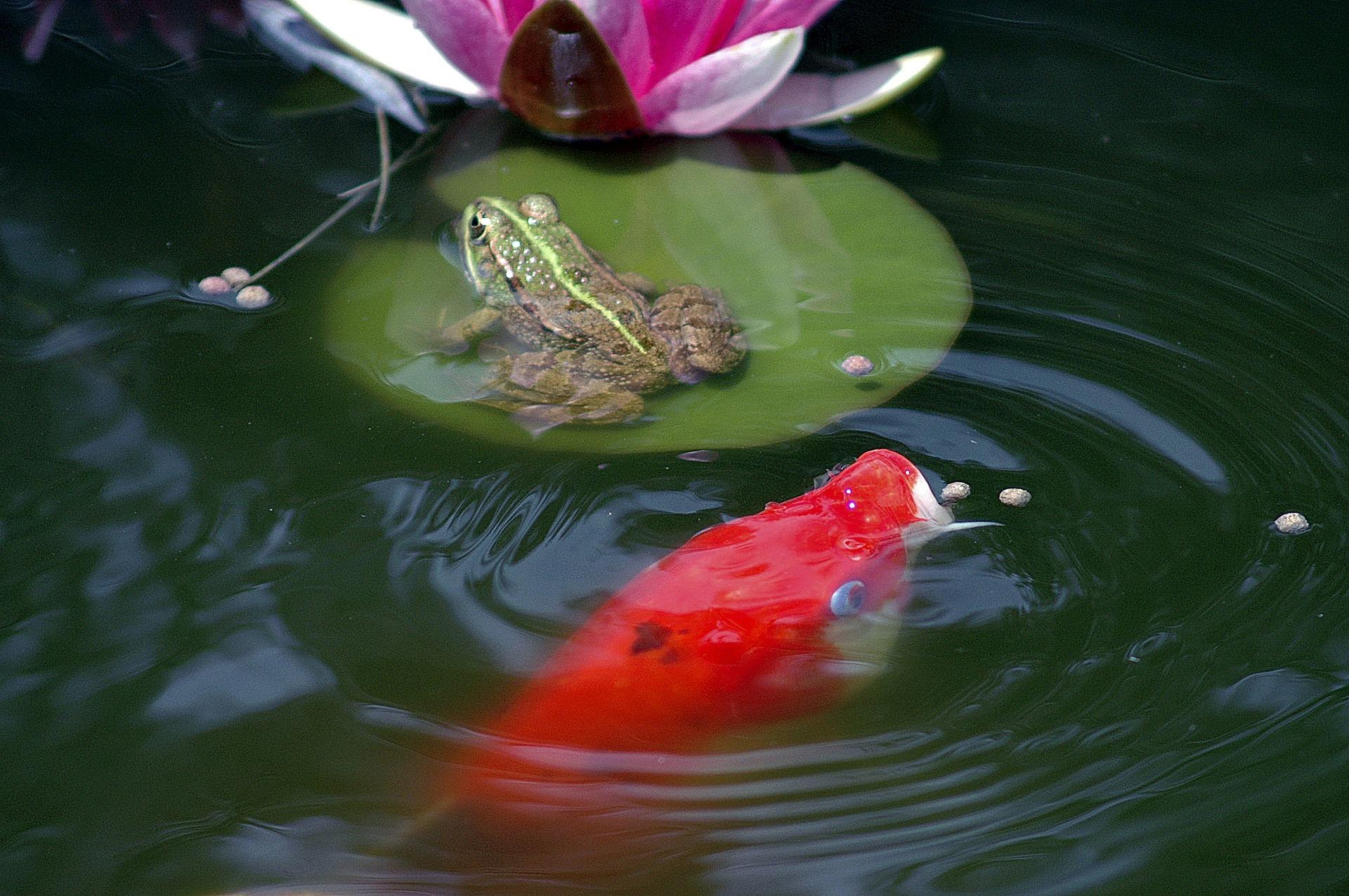 Do oczka wodnego można wpuścić ryby, np. karpie koi, słonecznice, różanki i obsadzić pięknymi roślinami, np. kosaćcem żółtym, hiacyntem wodnym. Wyposażyć go też można w tryskające wodą fontanny.