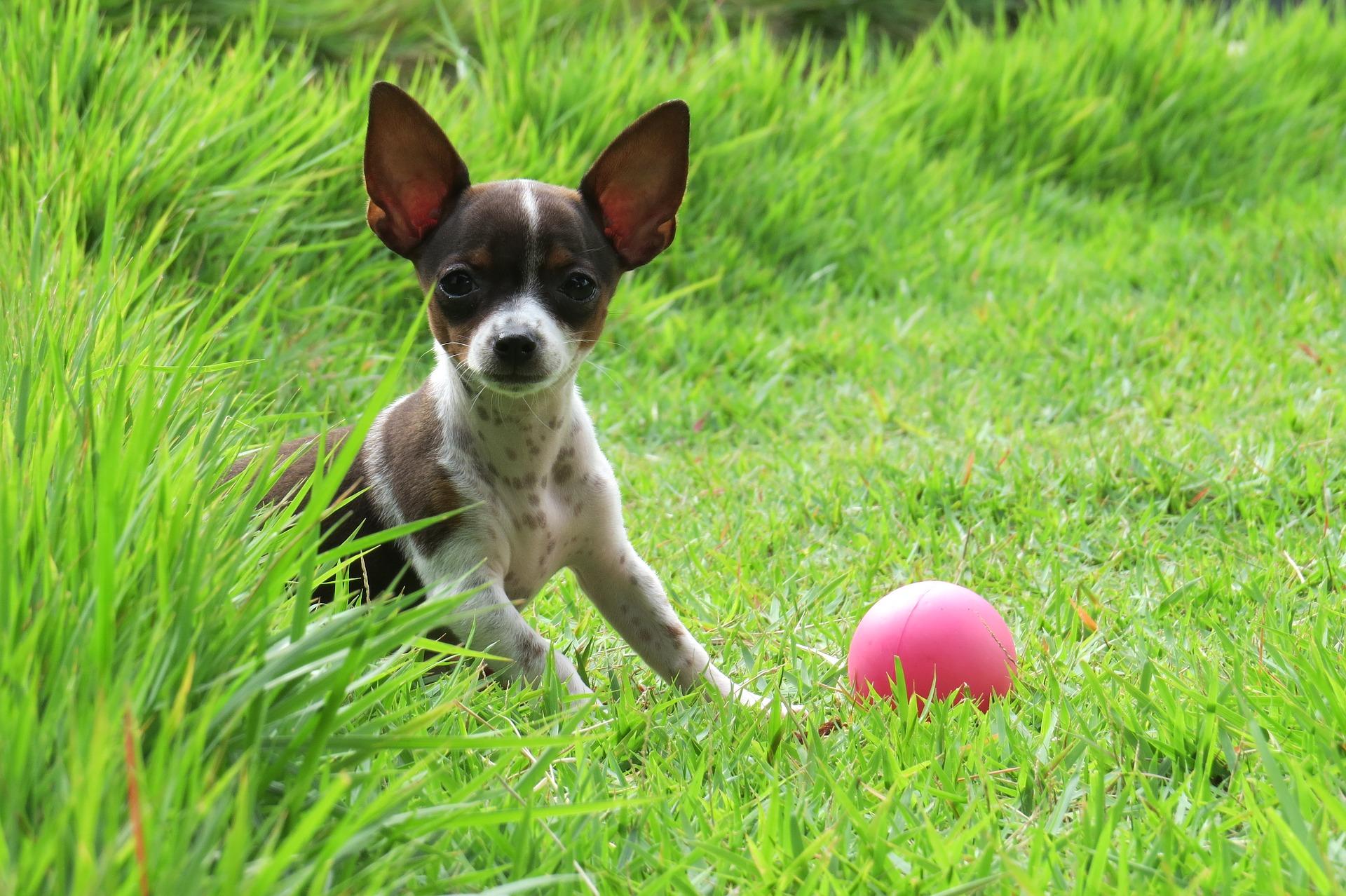 Kastracja psa to zabieg usunięcia gonad, natomiast sterylizacja to podwiązanie nasieniowodów lub jajowodów.