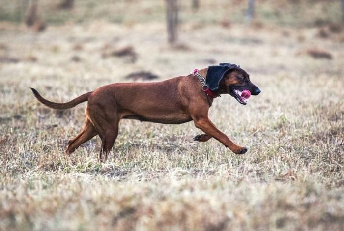 Posokowiec bawarski jest silnym i umięśnionym psem, jednak o smukłym pysku.