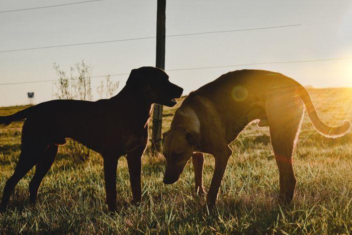 Dwa psy bawiące się o zachodzie słońca.