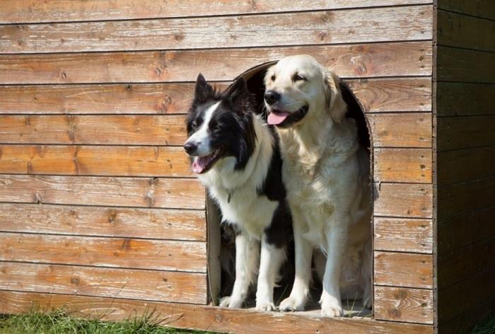 Labrador i border collie w wejściu do budy.
