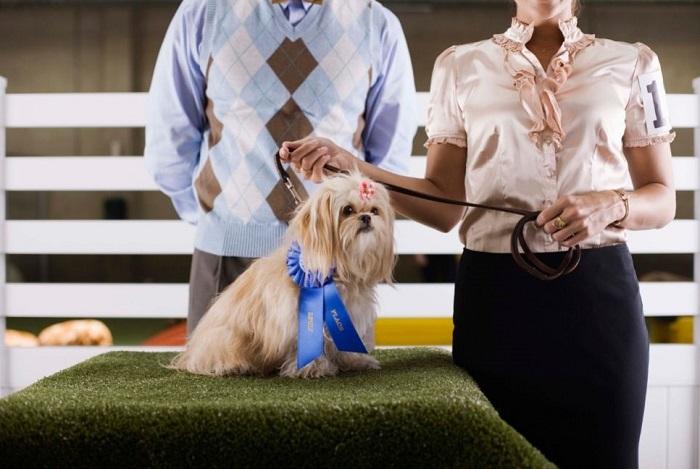 Pies na wystawie psów.