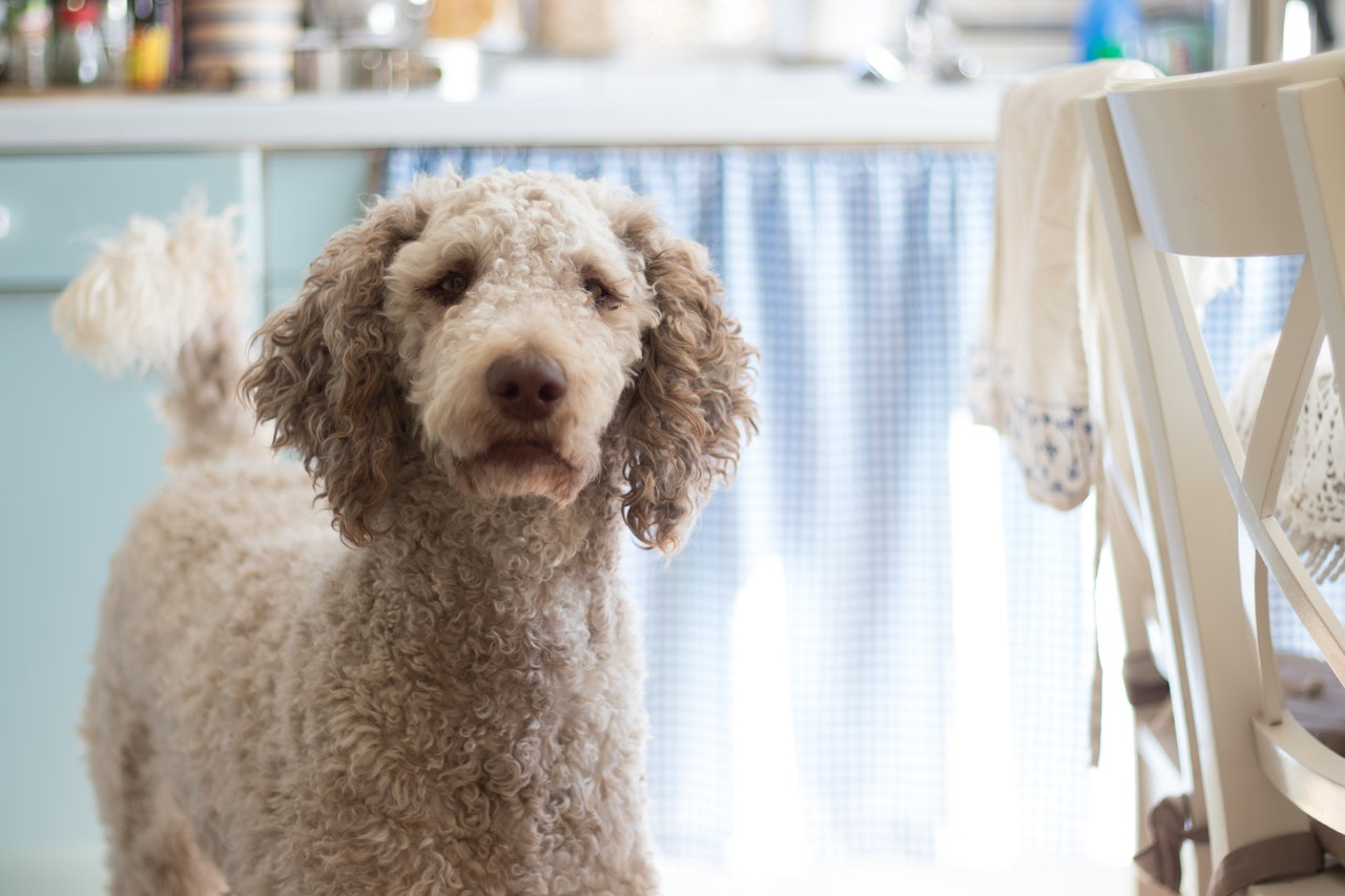 Pudel uznawany jest jako jeden z najinteligentniejszych psów.