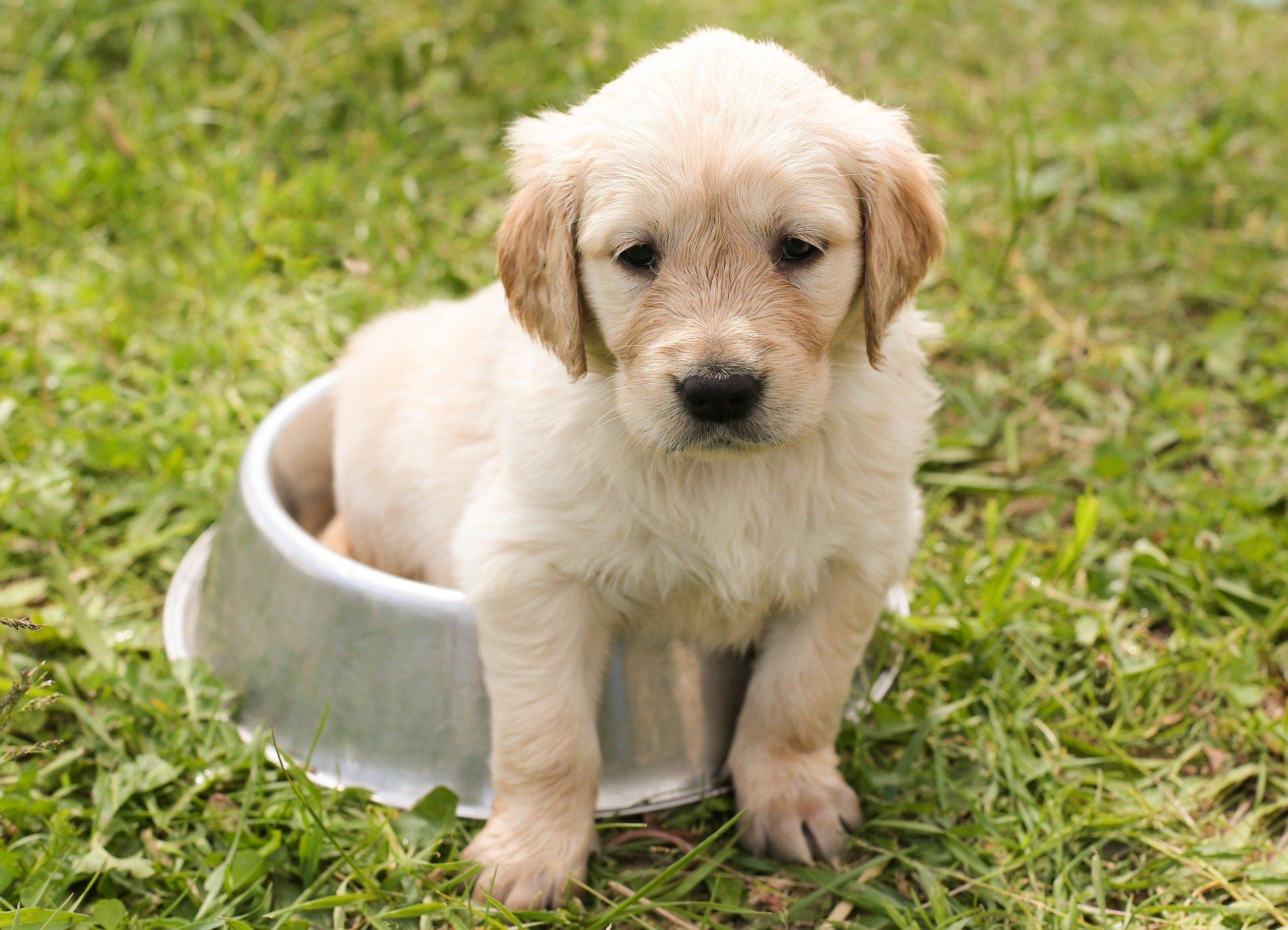 Wyprawka szczeniaka powinna zawierać przede wszystkim pełnowartościową karmę, miski, legowisko, zabawki, smycz lub szelki. Przydatnym będzie również kocyk i maty do nauki czystości.