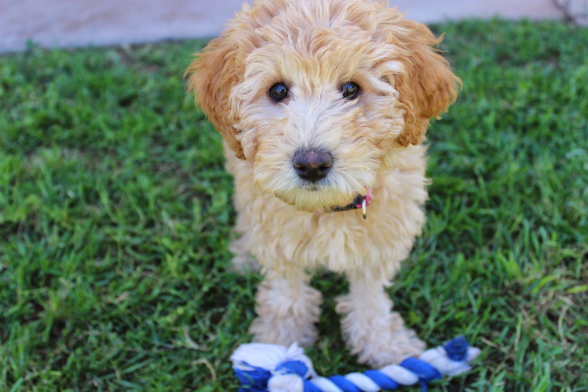 Labradoodle wbrew obiegowej opinii nie są psami nie powodującymi alergii, to nie rodzaj sierści uczula, a ślina i wydzieliny zwierząt. Przed zakupem zawsze należy sprawdzić jak reagujemy na psa.