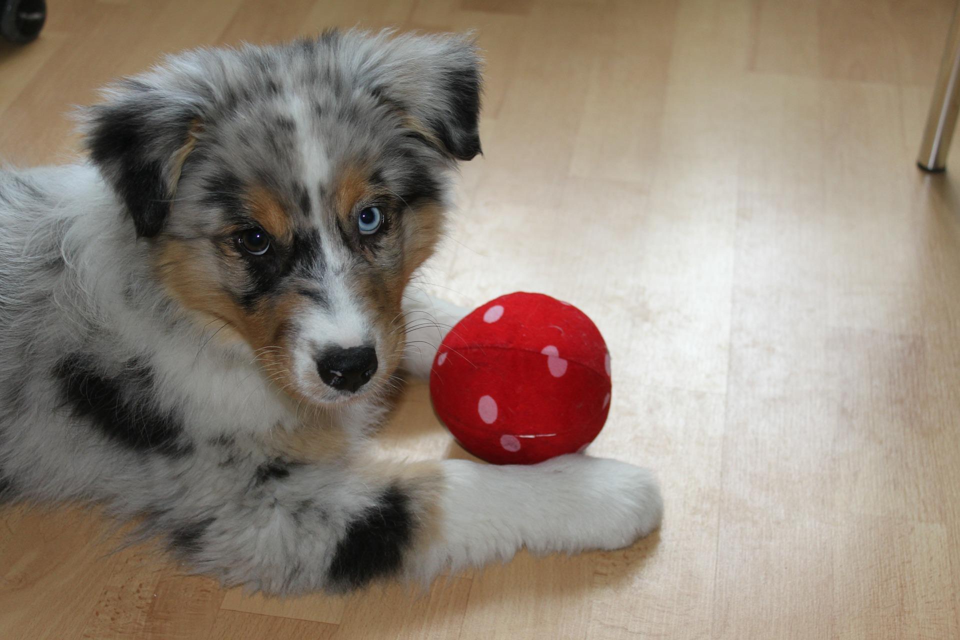 Zabawki dla szczeniąt powinny rozwijać zmysły i ćwiczyć kondycję dorastającego psa.