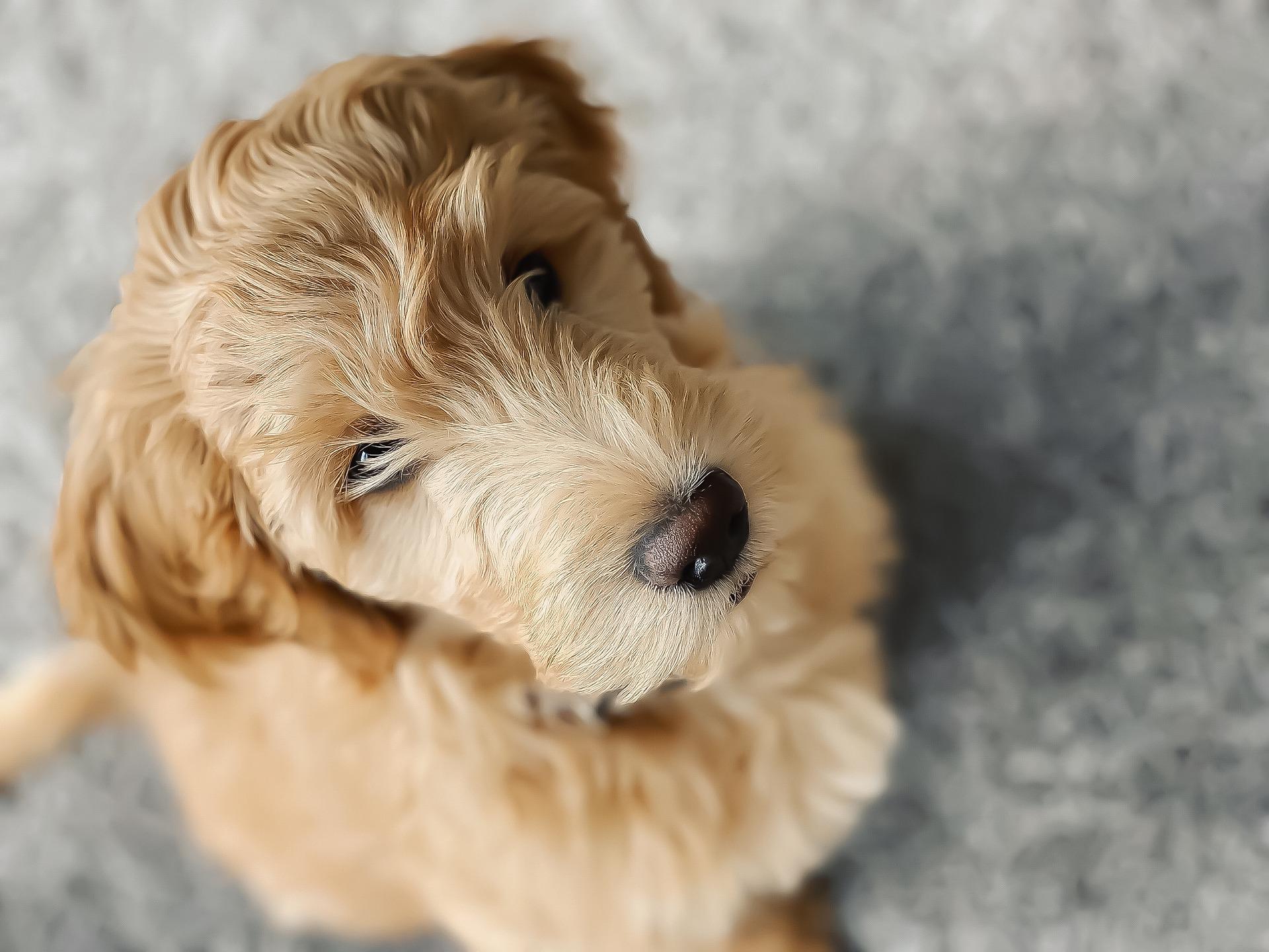 Pyszczek goldendoodle przypomina misia, czarny nos i oczy na tle kręconej sierści. Słodki wygląd Goldendoodle jest jego zaletą i jednocześnie sprawia dużo kłopotów - należy pamiętać, że to nadal jest pies i ma potrzeby typowe do gatunku - nie jest maskotką.