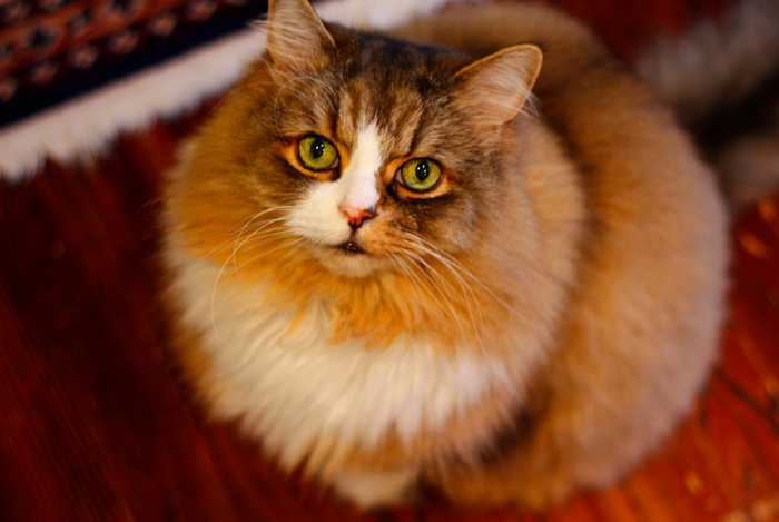 Kot ragamuffin z zielonymi oczami.